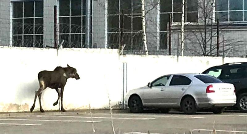 лось в Рыбинске